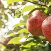 Apple Russet Trial Data – Eurofins